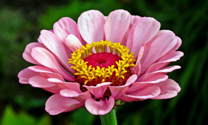 When to plant zinnia seedlings in 2021: calendar