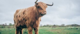 New 2021 Year of the ox: the characteristic of when it comes, color