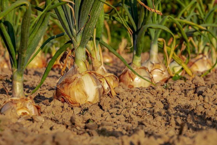 Planting onions in 2021: calendar