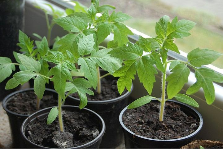 Planting tomato seedlings in the greenhouse in 2021
