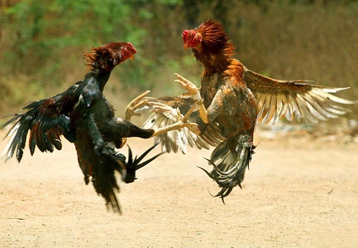 2021 year of the Screaming Rooster according to the Slavic calendar   new year, calendar