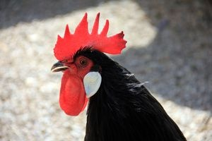 Horoscope for 2021 for the Rooster: women and men