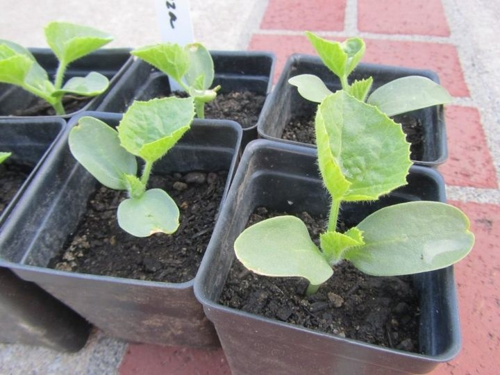 Planting zucchini for seedlings and greenhouses in 2021 | when to plant, calendar