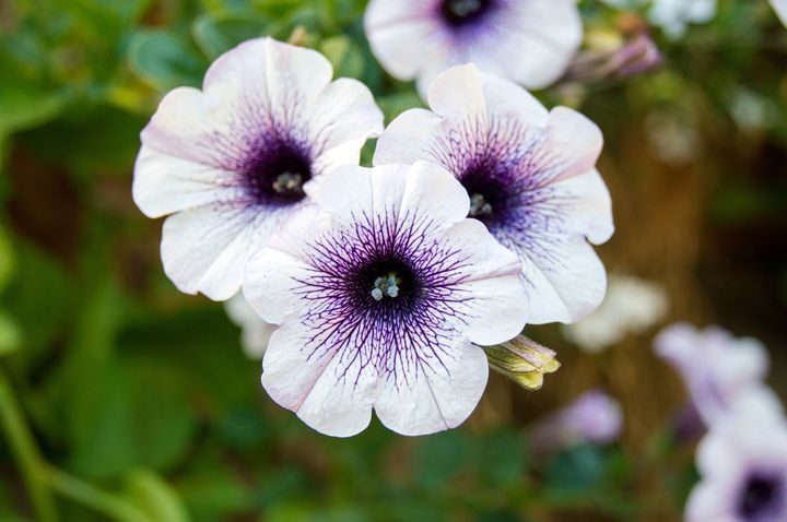 Planting petunias for seedlings and greenhouses in 2021   when to plant, lunar calendar